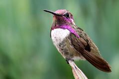 Adult Male Costa's Hummingbird (brad.schram) Tags: ca hummingbirds costashummingbird calyptecostae
