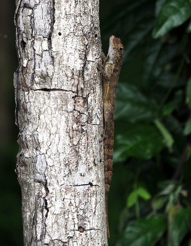 crested anole