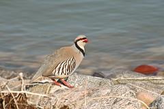 Chukar (Robinsegg) Tags: bird utah antelopeisland greatsaltlake davis