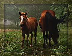 En Chan da Arquiña (Cancela de Sas) Tags: horses españa caballos spain galicia galope cabalos morrazo moaña domaio julio2009 chandearquiña
