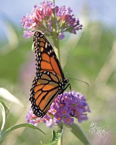 butterfly2wm