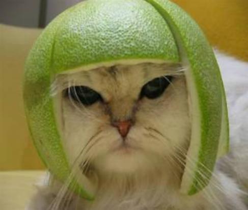gato com capacete