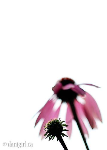 187b:365 Coneflower minimalism