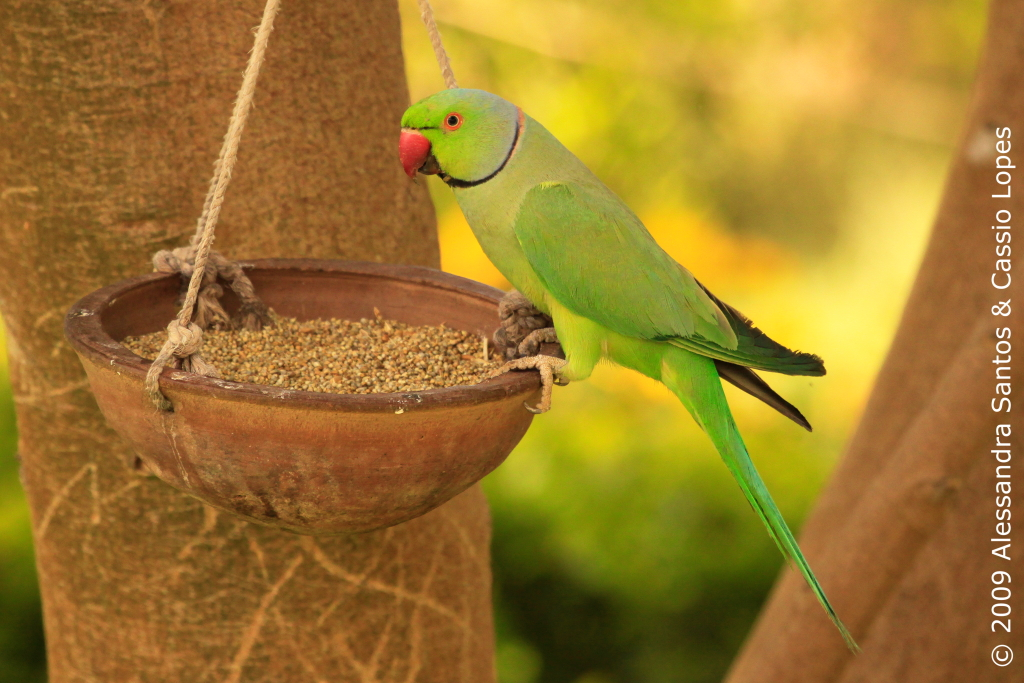 Rose-Ringed Parakeet at Dev Vilas Garden