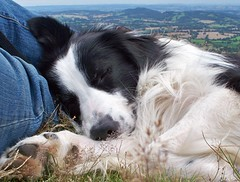 Sweet Dreams Barney... (meg price) Tags: dog pet collie sleep sheepdog border chapeau malvern bordercollie barney rescuedog mywinners abigfave thelittledoglaughed platinumheartaward noisephobia