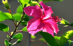 Obliged (nazlio69) Tags: flower floral backlight nikon hibiscus d90 18200vr flickrflorescloseupmacros hibiscuswonder