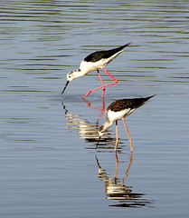 Cames llargues / Black-winged Stilt (SBA73) Tags: bird water birds animal animals agua couple eau feeding pareja pantano marsh laguna pajaro delicate tamron aigua stilt comiendo marshes 70200mm aiguamolls aiguamollsdelempord empord parella marismas himantopushimantopus blackwingedstilt ocell menjant abigfave 100commentgroup mygearandmepremium