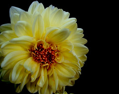 Fluffy yellow (bdaryle) Tags: dahlia black flower nature yellow petals sony flor awesomeblossoms brandondaryle bdaryle imagesbybrandon