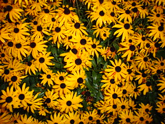 Black eyed susans I