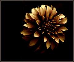 Avanza, poco a poco se acerca el otoo (keyfreya - carmen) Tags: flores hojas negro otoo dorado procesados tff1 tff2 tchaikosvky