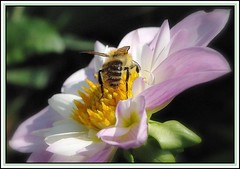 Bee on dahlia (mamietherese1) Tags: dahlia bee flowerwithinsect platinumpeaceaward