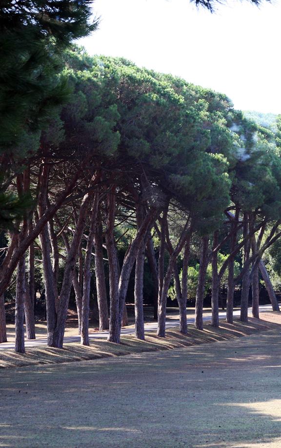 brioni pine trees