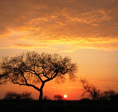 Sunrise in South Africa (Sandra Leidholdt) Tags: africa morning sky sun tree silhouette sunrise southafrica dawn soleil african silhouettes explore afrika za siluetas sdafrika krugernationalpark kruger satara southafrican knp sudafrica  afriquedusud zuidafrika silet leverdusoleil sudfrica explored sandraleidholdt leidholdt sandyleidholdt