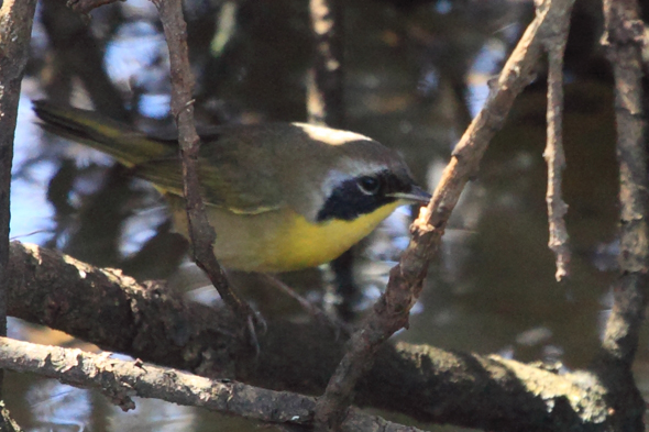056_commonYellowThroat_sm