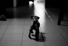 Go Matias, Go! (Isai Alvarado) Tags: blackandwhite bw dog baby white cinema black film movie 50mm nikon dof little bokeh fat go pug cine livingroom short ugly breed cinematic matias puppie d80