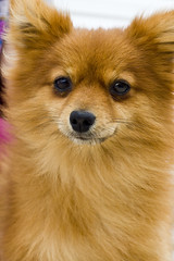 For Adoption:Pomeranian (Crowder College Photo Project) Tags: cats dogs puppies kittens missouri neosho petadoption rescuedanimals vettech fall2009 crowdercollege