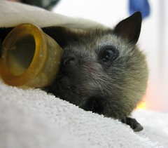 sally first night (Im_a_teapot) Tags: australian sally bats greyheadedflyingfox wildliferehabilitation pteropuspoliocephalus megachiroptera