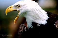 Bald Eagle With An Atitude (Roger's Photos59) Tags: potofgold thewonderfulworldofbirds mygearandme rememberthatmomentlevel1 rememberthatmomentlevel2 rememberthatmomentlevel3