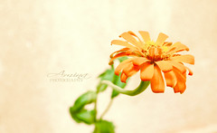 Zinnia: The Cinderella Flower (MissBlack_88) Tags: orange black blur flower green beautiful yellow garden mexico nice europe pretty aztec dr sunny bloom tall wildflowers cinderella zinnia lovely miss dull gottfried zinnias eyesore d60 zinn everybodys missblack nikonflickraward flickraward drgottfried drgottfriedzinn