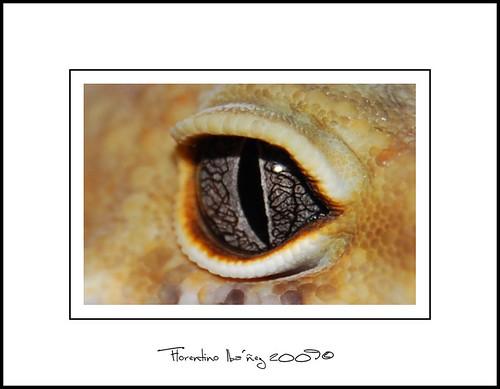 Limonero eye - Leopard Gecko -