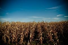Habrá niños entre el maíz????? (InVa10) Tags: blue sky españa naturaleza portugal nature field azul clouds canon eos spain corn badajoz cielo campo maiz campomaior planted nuebes inva sembrados 450d