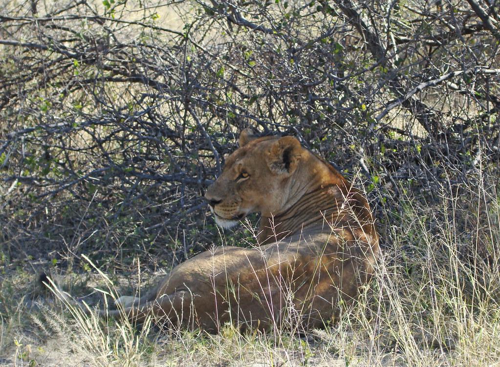 DSC08280 lioness