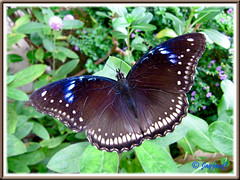Hypolimnas bolina jacintha (Jacintha Eggfly), wings beautifully spread