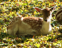 Fallow Deer Fawn - So Tired... (minminatmidnight) Tags: november autumn sleeping wild fall nature leaves animal animals germany season bayern deutschland bavaria tiere seasons sleep laub herbst jahreszeit jahreszeiten natur deer fawn resting fallowdeer fawns schlafen blätter animalplanet tier herbstlaub niederbayern animalphotography damadama damwild bej lowerbavaria hirschkalb natureselegantshots fujifilmfinepixs100fs naturesgreenpeace hirschkälber