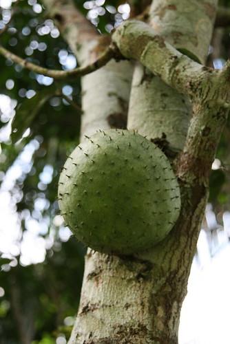 Annona muricata (Annonaceae)