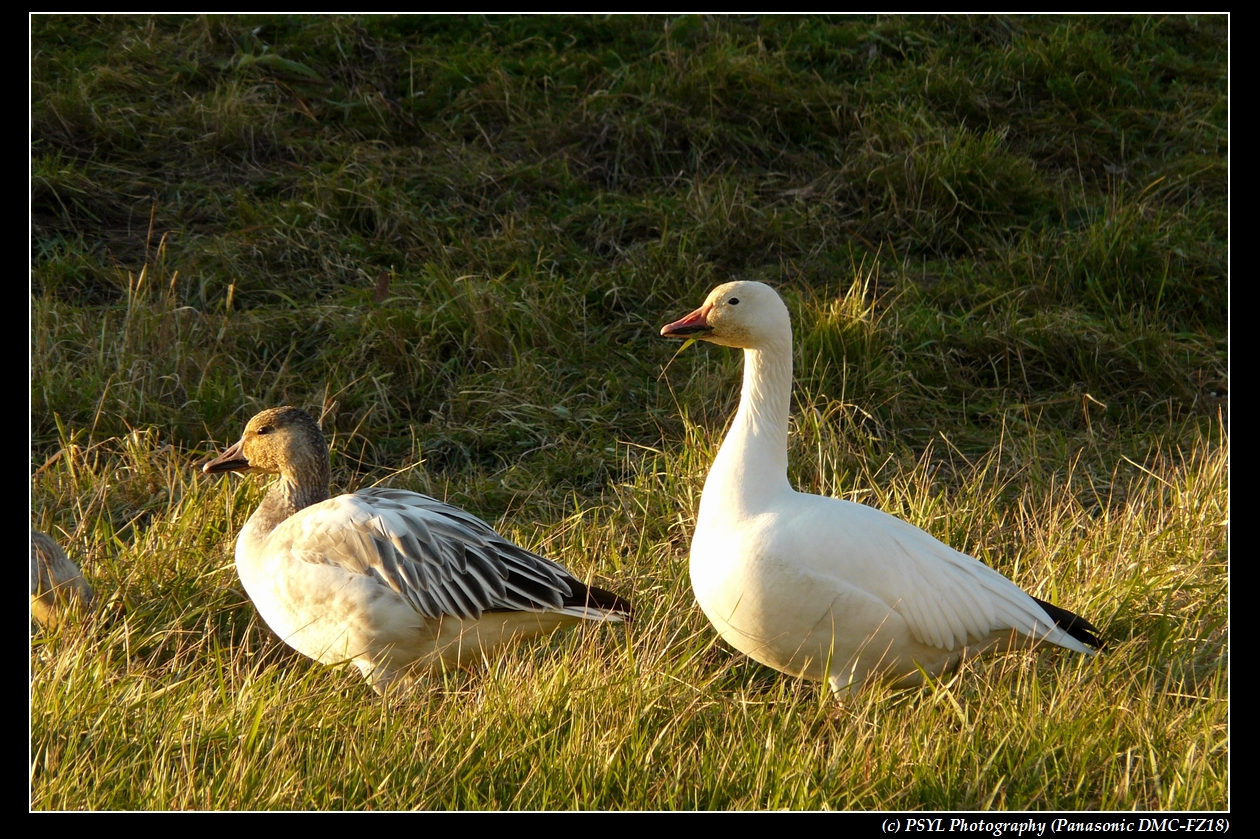 Lesser Snow Geese (Chen caerulescens caerulescens) adult and juvenile