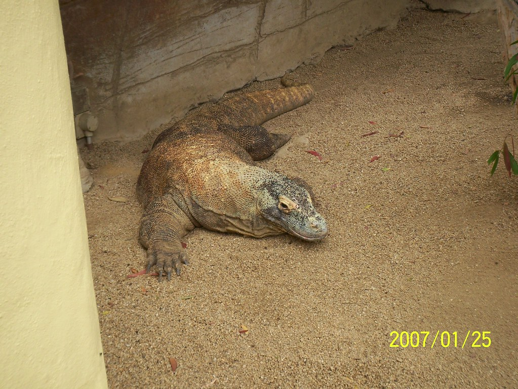 Komodo Dragon at Taronga