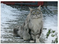 Maxwell likes snow?! (Jorbasa) Tags: pet animal cat germany deutschland hessen mainecoon maxwell geotag haustier kater katzer wetterau cc100 jorbasa blacksilverclassictabby