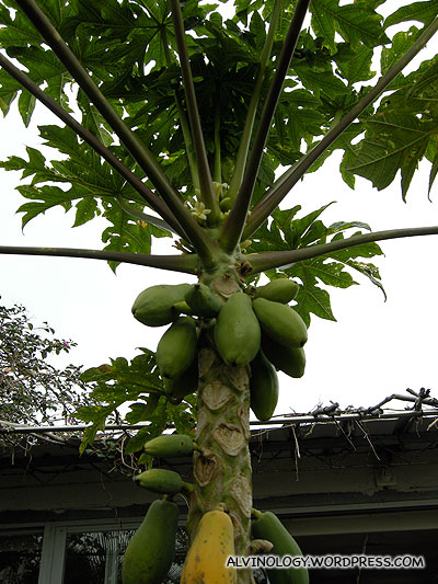 There's even a small papaya tree
