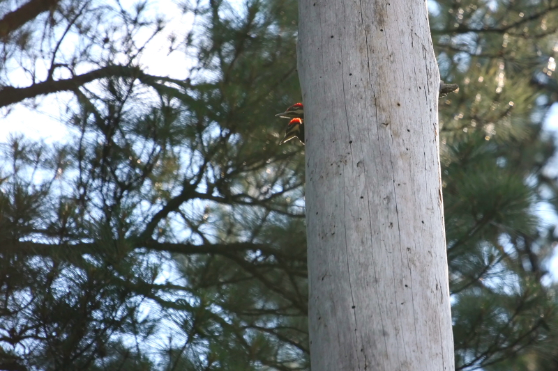 pileated_woodpecker_babies