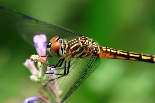 フリー画像| 節足動物| 昆虫| とんぼ/トンボ|        フリー素材|