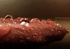 -Fuori dal tempo- (B@rbar@ (Barbara Palmisano)) Tags: macro nature water petals drops natura drop tulip acqua tulipano goccia gocce petalo bej fineartphotos mywinners abigfave goldstaraward