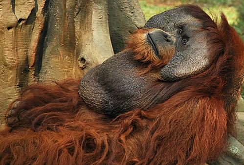 Oran Utan at Taman Safari
