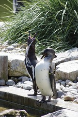Humboldt Penguins at Marwell Wildlife