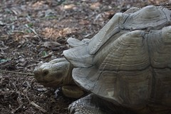 Tortois (Karl Witt) Tags: animal canon zoo illinois turtle places il brookfield brookfieldzoo tortois 50d ef70200mmf4lisusm