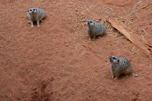 meerkat family 2