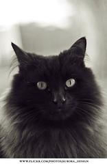 Le Chat Noir (Naomi Rahim (thanks for 5 million visits)) Tags: portrait black sepia cat fluffy mysterious norwegianforestcat d60 animalportrait