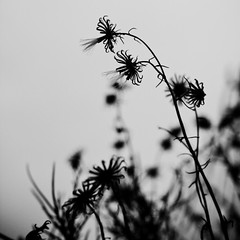 Senescence (Bad, Bad Lechroy Brown) Tags: bw white black contrast bay flora seed area aster lech fruiting senescence naumovich