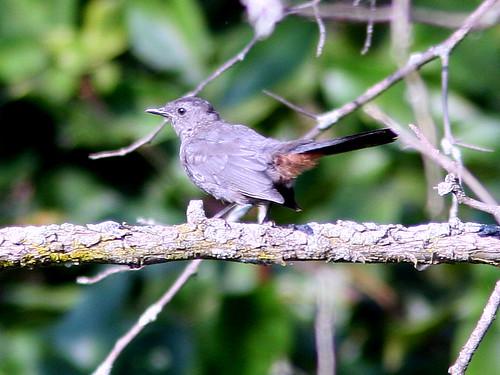 Gray Catbird 20090813