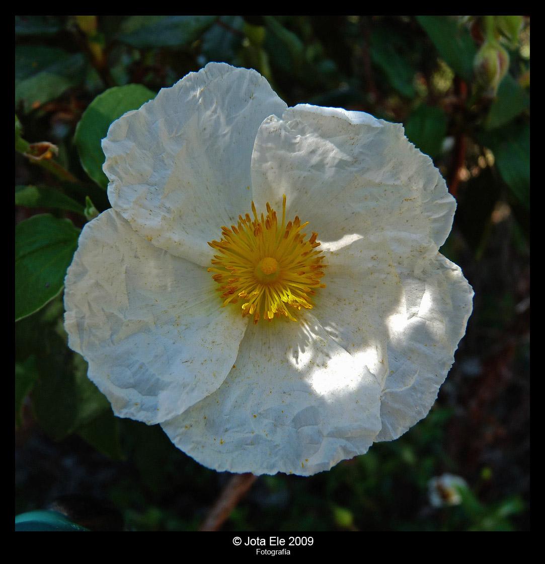 Flor de jara II