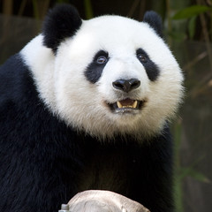 Happy Su Lin (San Diego Shooter) Tags: wallpaper zoo sandiego giantpanda sandiegozoo desktopwallpaper giantpandas sulin sandiegozoopanda sandiegodesktopwallpaper