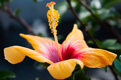 35/365 : E as Ephemeral (Marine*B) Tags: flower nature yellow jaune plante rouge vert d90 nikond90
