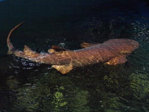 Clearwater Marine Aquarium: Nurse Shark