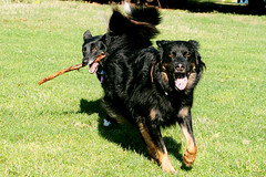 Napoleon, Pee Pee and Stick (kenneth barton) Tags: dog pet dogs napoleon must dogpark fetch peepee kennethbarton rossfarrier kennethbartonphotographer kennethbartonphotography