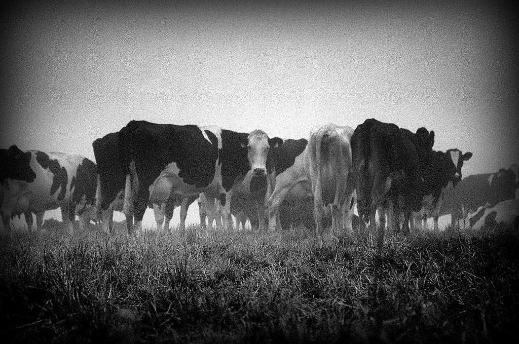 cows #31970017