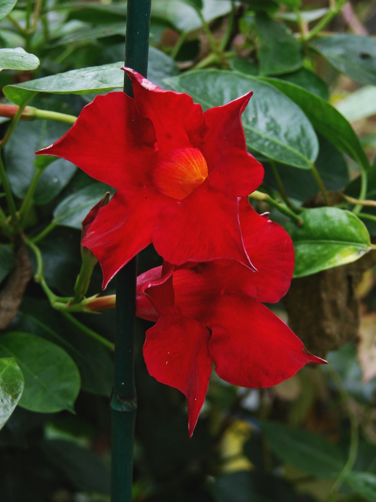 No-ID Mandevilla vine red